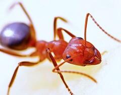 4 недорогих средства помогут навсегда избавиться от рыжих муравьев