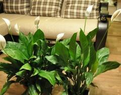 Растения, которые принесут счастье в ваш дом, согласно поверьям