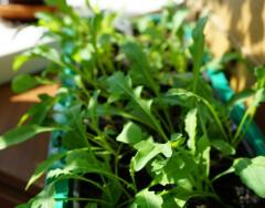 Витамины круглый год: выращиваем рукколу на подоконнике дома